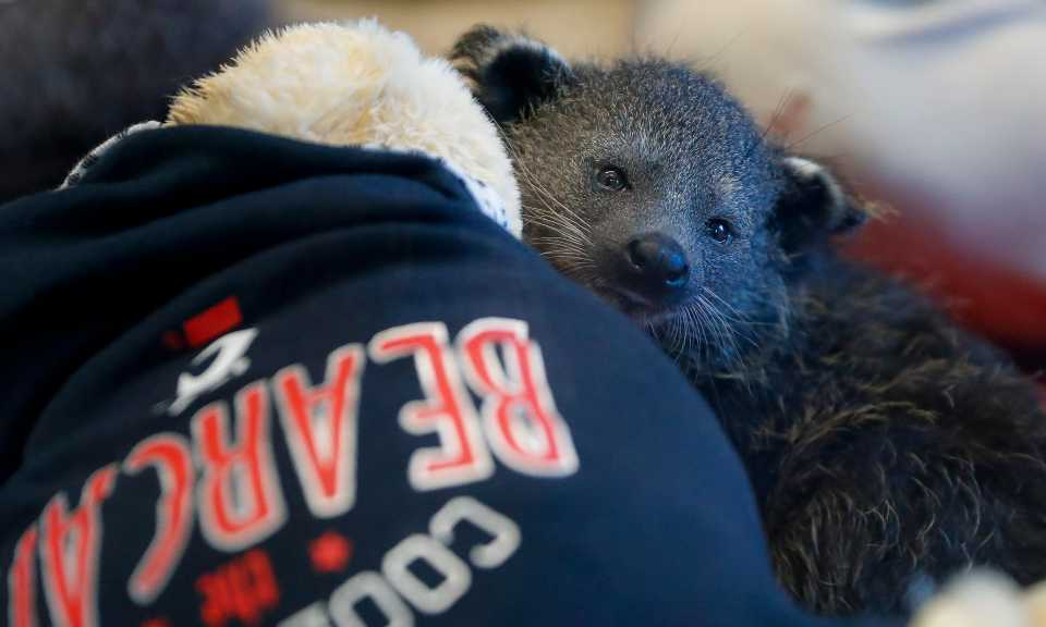 A baby bearcat is revealed at the Cincinnati Zoo & Botanical Garden, Friday, Oct. 18, 2019, in Cincinnati. The unnamed animal will become the new mascot for the University of Cincinnati's various Bearcats athletics teams.