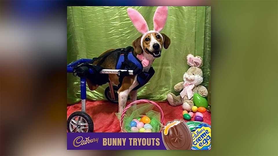 Cadbury Bunny Ohio dog Lt. Dan