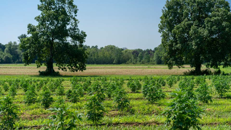 Ohio accepting applications for hemp cultivation