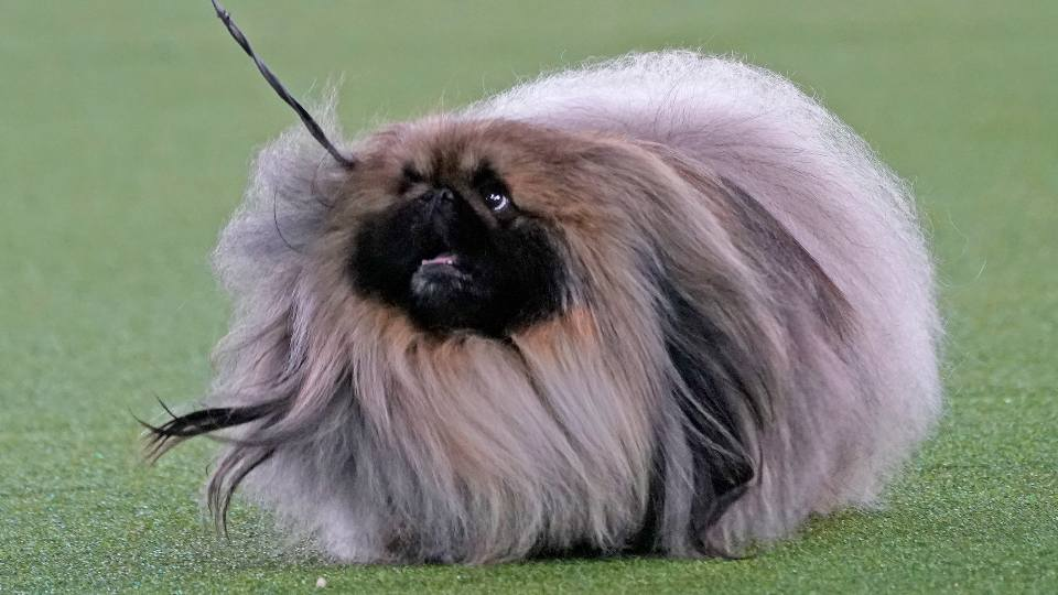 A Pekingese walks with its handler in the Best in Show at the Westminster Kennel Club dog show, Sunday, June 13, 2021, in Tarrytown, N.Y. The dog won the blue ribbon in Best in Show.