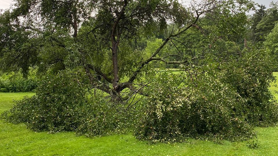Greenville apple tree damage