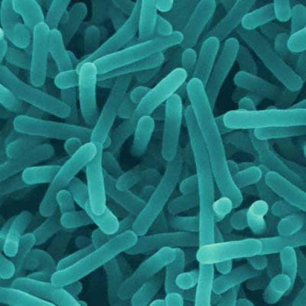 Listeriabacteria_437