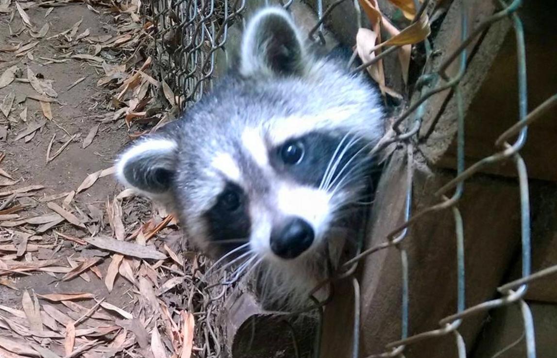 racoon 4_323916