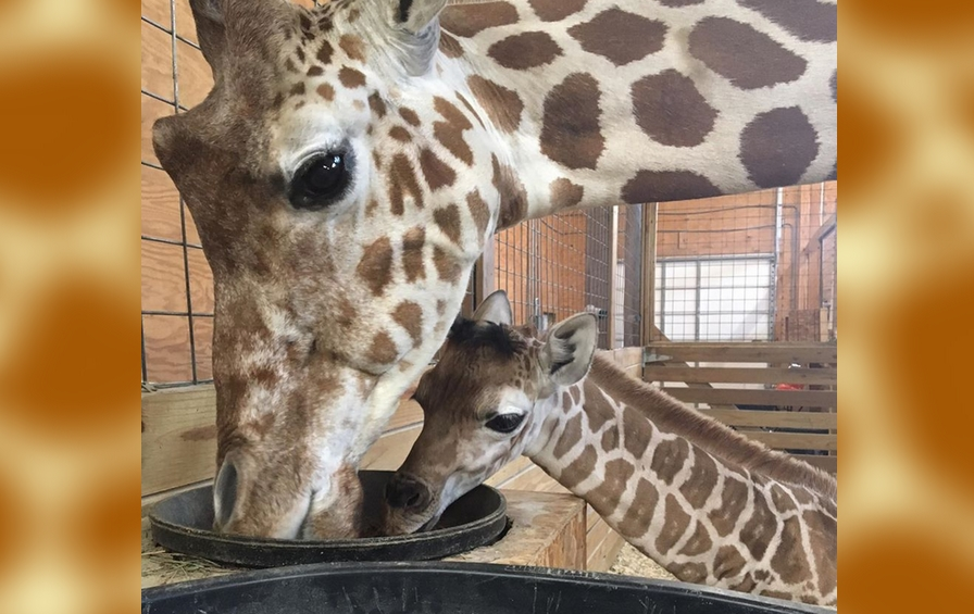 giraffe1_338491