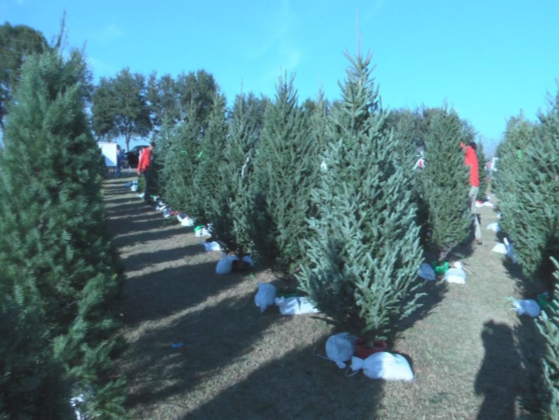 fir trees_451676