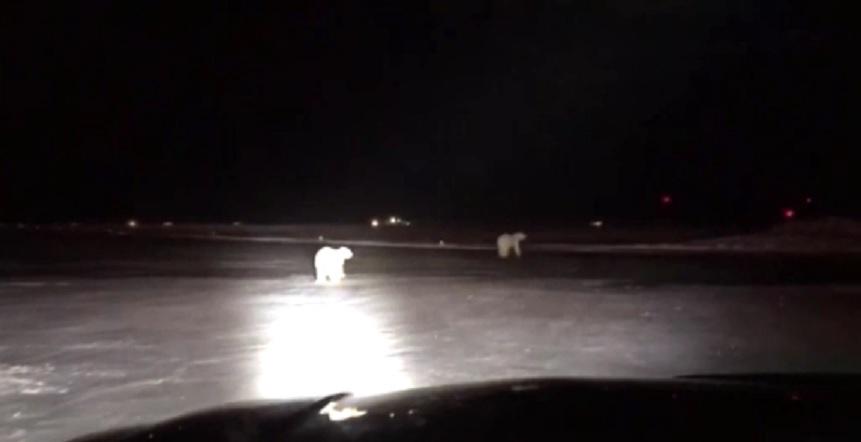polar bears_464411