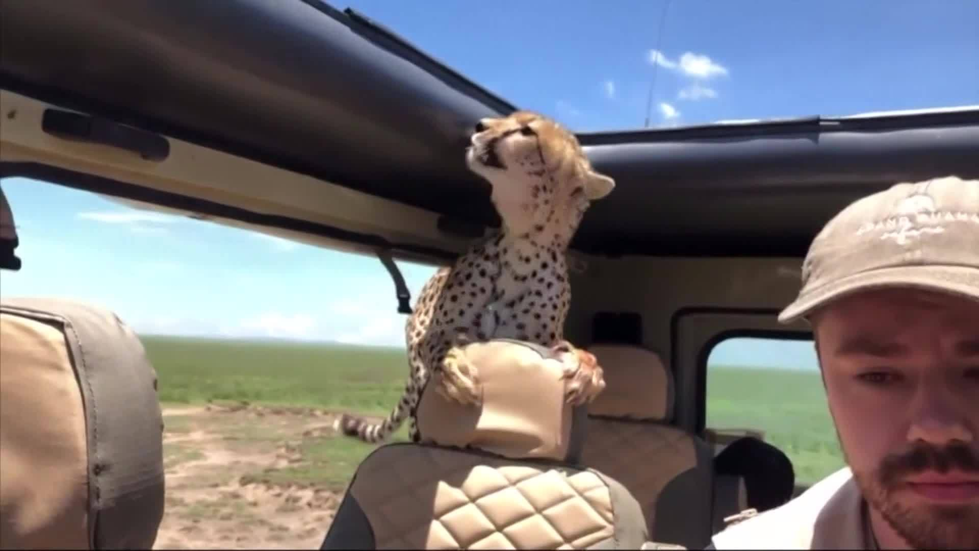 VIDEO: Cheetah surprises safari goers by jumping into man's jeep