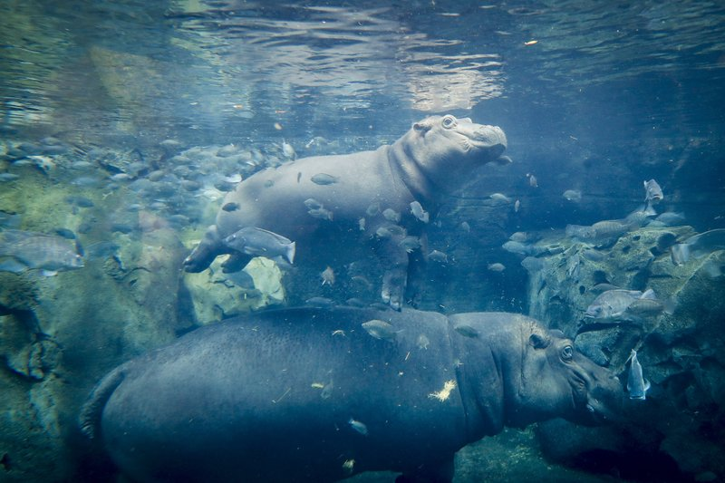 fiona the hippo_1530499759126.jpeg.jpg