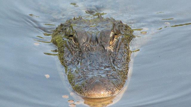 aligator-generic_30935731_ver1.0_640_360_1534783703443.jpg