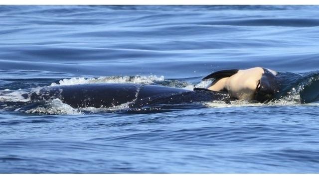 orca dead calf_1532703941785.jpg_49799692_ver1.0_640_360_1532711838755.jpg_49811872_ver1.0_640_360_1533854015006.jpg.jpg