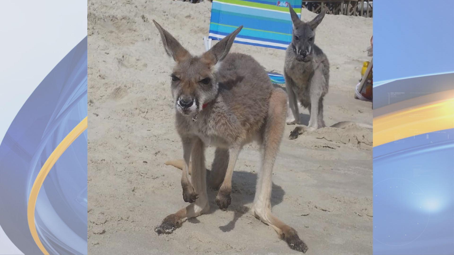 kangaroos_1535940418946.jpg
