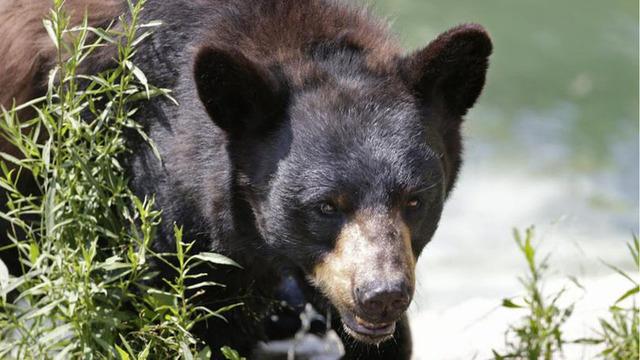 black_bear_t810_1526052349962_42299653_ver1.0_640_360_1533855531184.jpg