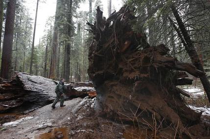Drive Thru Sequoia_352331