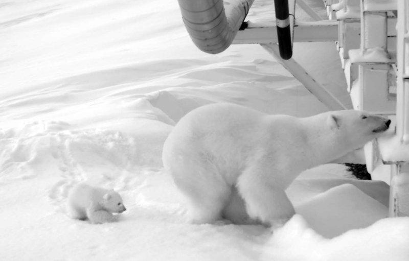 Alaska polar bear_410824