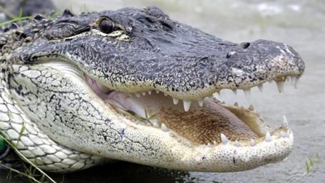 Alligator generic_288136