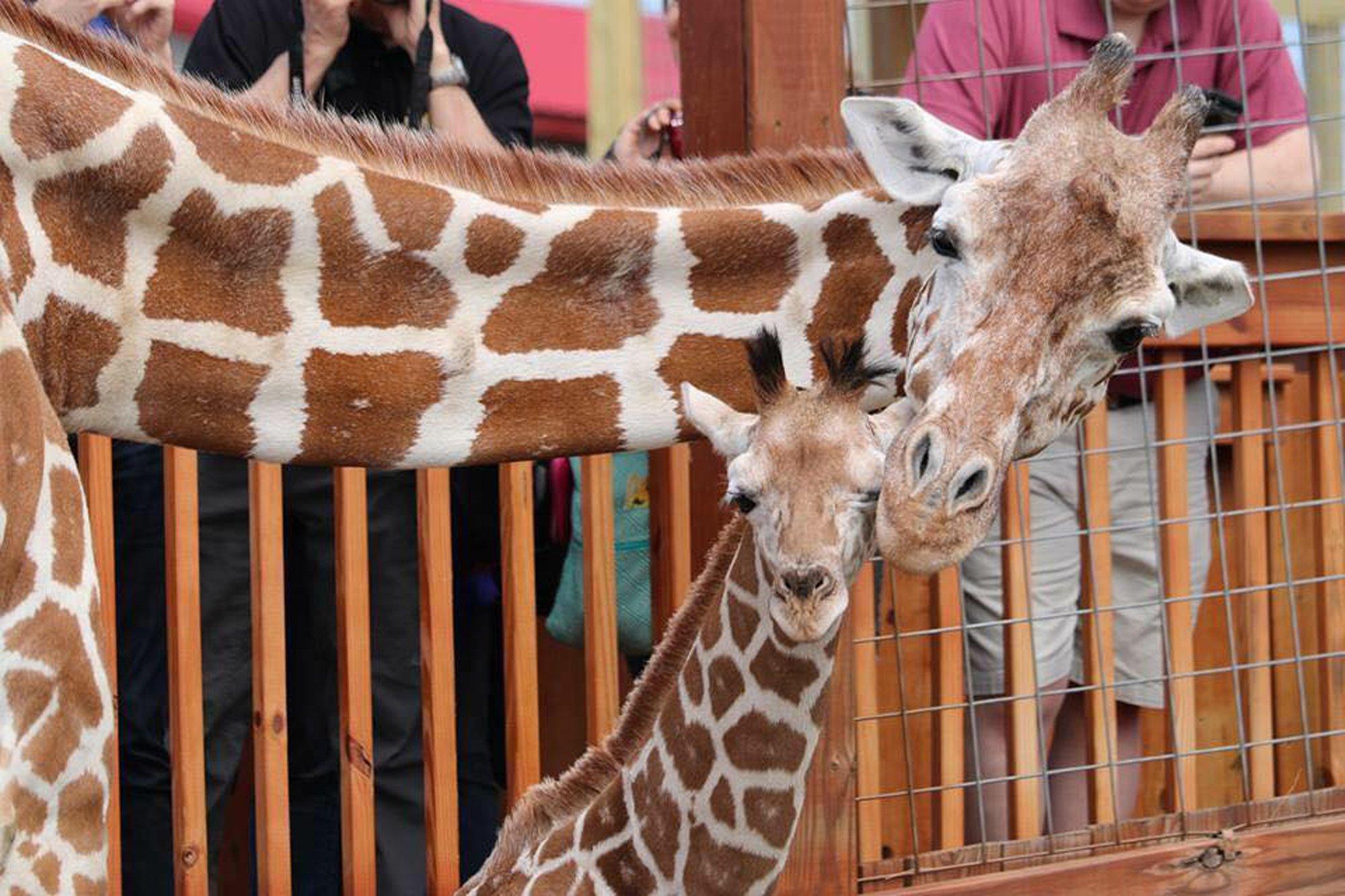 april the giraffe_1544476138376.jpeg.jpg