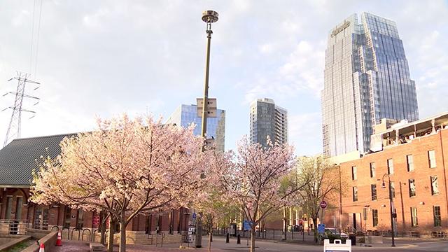 Nashville cherry trees generic