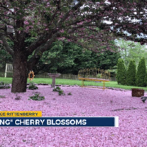 Cherry blossom snow_1555695638584.png.jpg