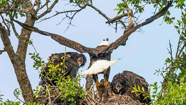 Louisiana eaglet
