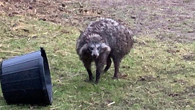 racoon dog cnn_1559230218704.jpg.jpg