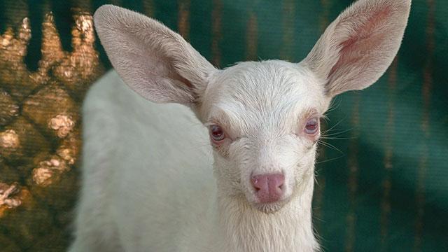 albino-fawn2_1559582423651.jpg