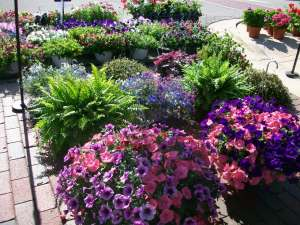 Late spring is the best opportunity for purchasing annual flower baskets.