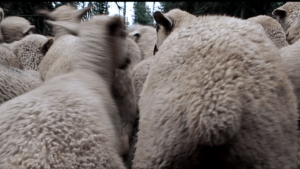 Dynamic Sheep Shot