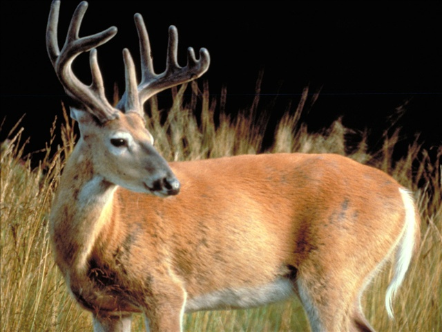 Deer_11213