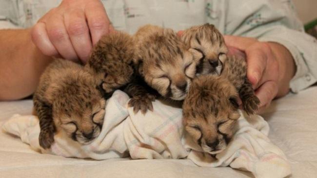 Cheetahs_141404