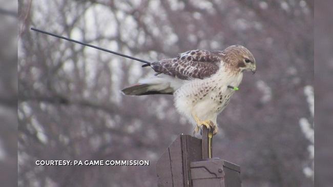 Hawk_145742