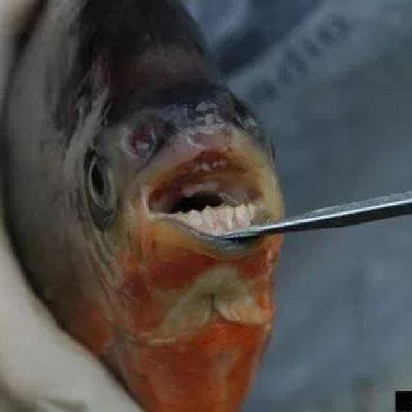Pacus Fish_176832