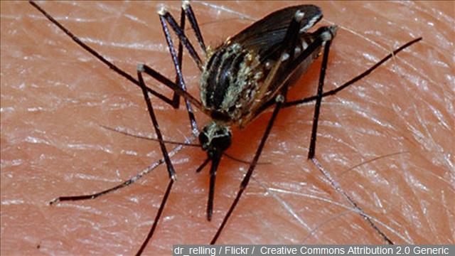Mosquito_89374