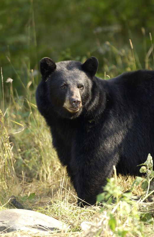 Black bear_1553535044191.jpg.jpg