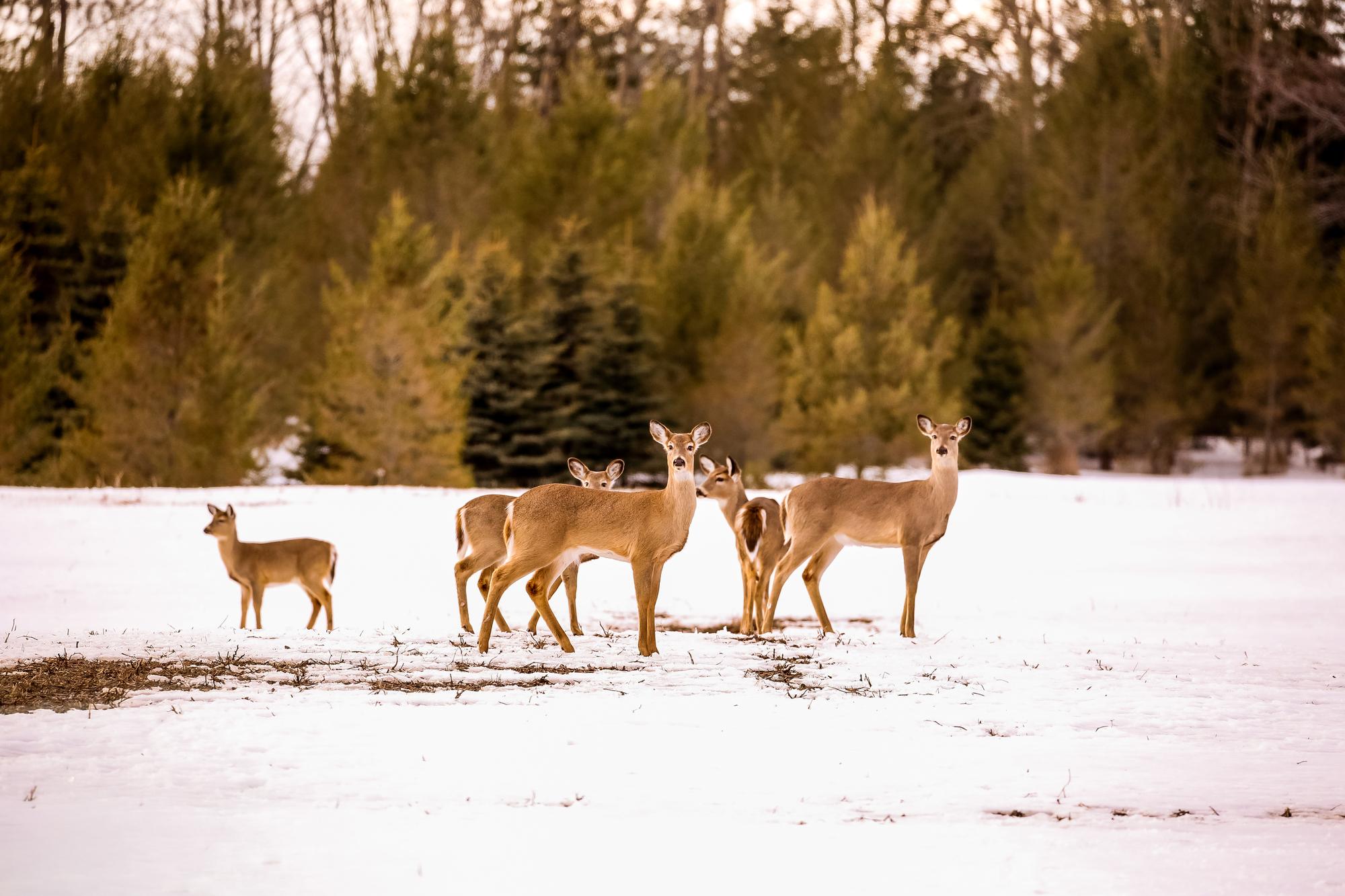 Deer in Field_1555463198948.jpg.jpg