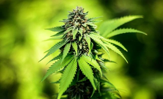 Medical Marijuana_46375