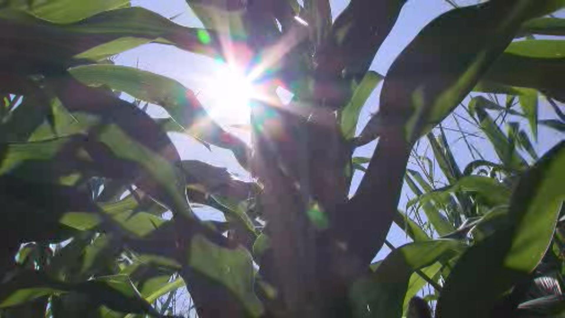 crops_in_heat_19378