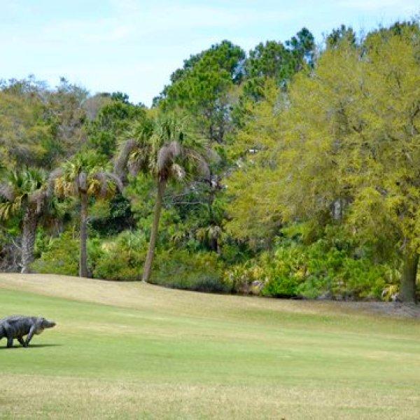 Gator On Golf Course_377401
