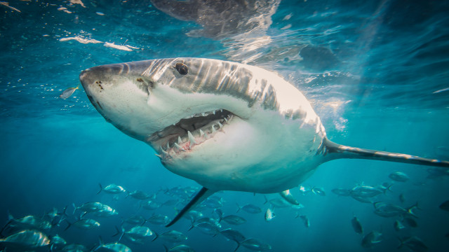 Scientists say fishermen are wrong, the shark population in