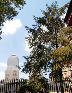 'Cedar' that replaced Sycamore at Ground Zero site