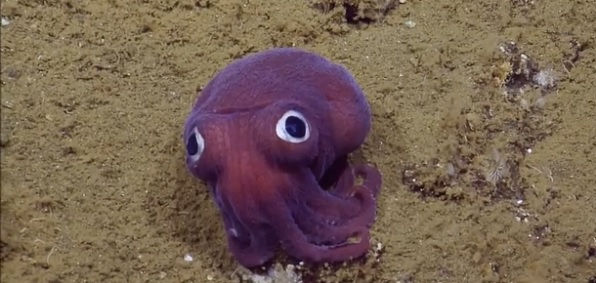 Googlyeyed purple squid sighting delights scientists