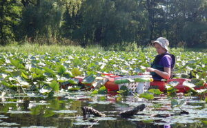 Water chestnut removal at Jamestown Audubon, July 2014, Pictured Angela Driscoll, 2014 WNY PRISM Stewardship Assistant. photo credit: WNY PRISM