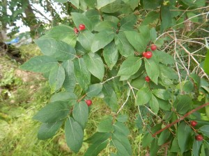 Bush honeysuckle (Lonicera spp.) observed as part of the Chautauqua Lake Outlet and tributaries invasive species survey in 2017. Photo Credit: WNY PRISM.