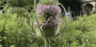 Common Teasel