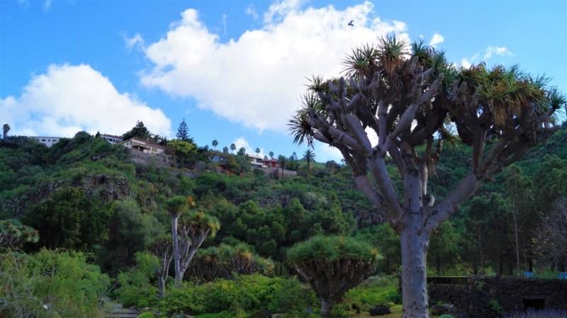 Der Kanarische Drachenbaum prägt das Landschaftsbild der Kanarischen Inseln