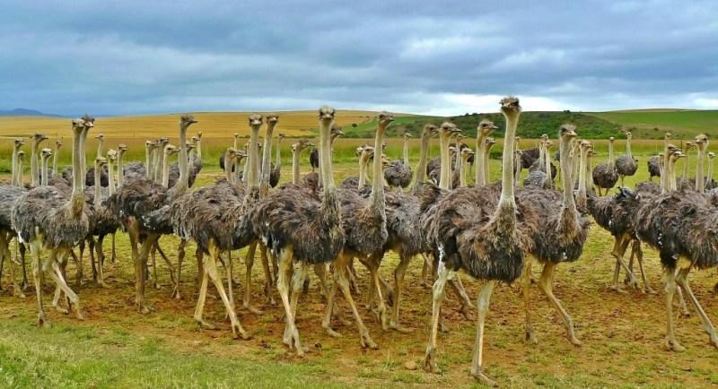 Straußen in Südafrika