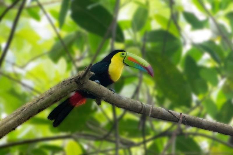 tropischer Regenwald in Panama, Papagai