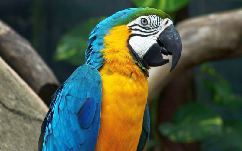 Manaus Papagei
