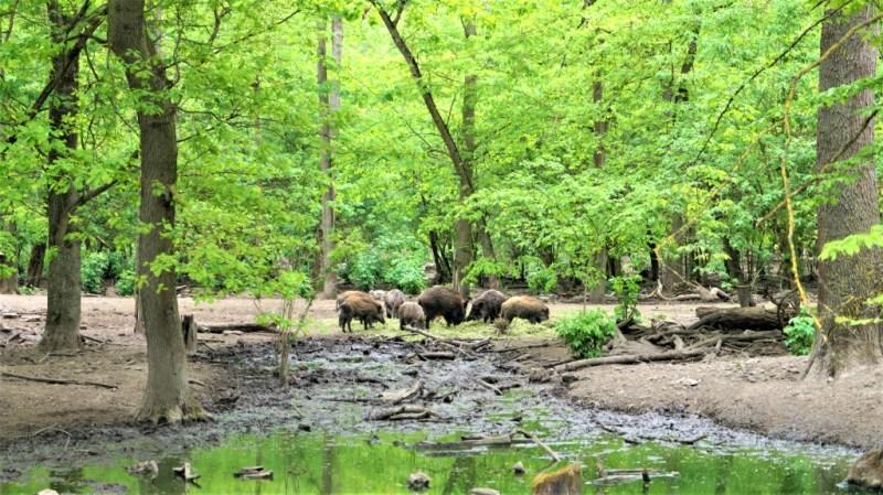 Wildschweine auf der Ketscher Rheininsel