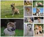 Betrouwbare Shiba inu fokker met Belgische puppy's