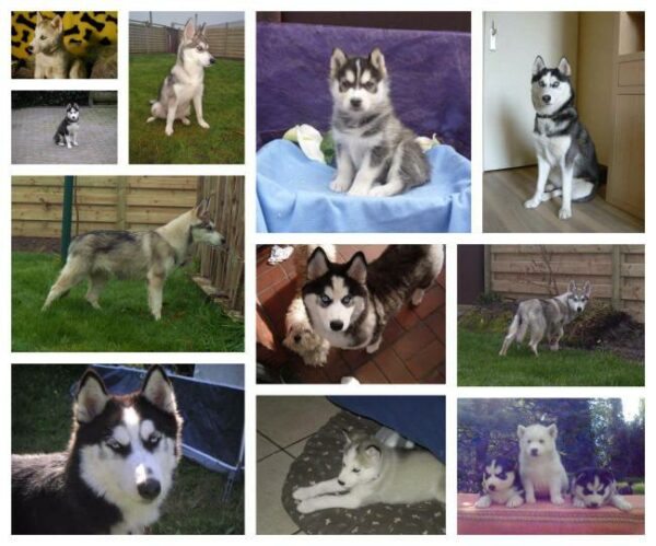 fef9a4239 Siberian Husky puppies for sale - Belgian Husky breeder - Woefkesranch